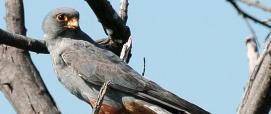 Falco vespertinus (foto di Jutta Luft - WikiMedia, CC BY-SA 3.0)