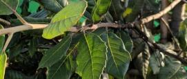foglie leccio (foto Alessio Saba)