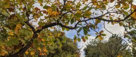 Roverella con foliage tardo-autunnale presso Foresta Demaniale Campidano (foto A.Saba)