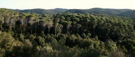 Pinete (pino domestico) e leccete  di Is Cannoneris