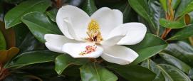 Magnolina (foto di DavetheMag, WIKIMEDIA cc-BY)
