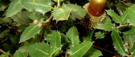 Quercus coccifera (spinosa)