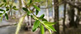Salix fragilis (Thayne Tuason licenza CC BY-NC 2.0 su creativecommons.org)