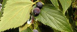 foglia e frutti del Bagolaro