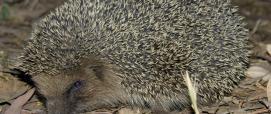 Un riccio sorpreso nel bosco (foto Angelo Puggioni, Forestas)