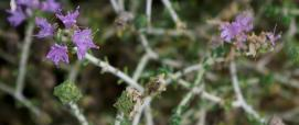 """Thymus capitatus (common thyme), above the pebble beach, Apollonas, Naxos"" by jmlwinder is licensed under CC BY-NC-ND 2.0"