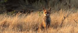 volpe sarda (foto su SardegnaDigitalLibrary)