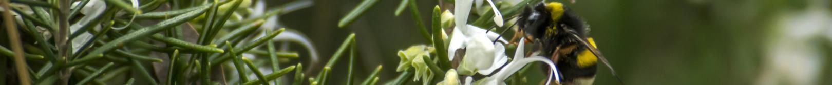 Bombo su fiori di rosmaino (foto di Cristian Mascia)