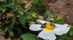 Cisto con insetti, presso il bosco Settefratelli (foto Alessio Saba)