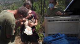 L'arrivo delle nuove aquile a Tepilora (foto ISPRA)