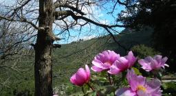 Peonia contrasto con colori del bosco (D.Loddo, Sardegna Digital Library)