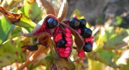 frutti della Peonia