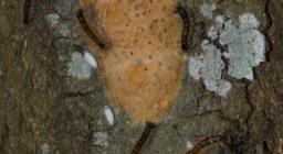 Dettaglio della corteccia ove è possibile individuare la ovatura (agglomerato di migliaia di uova di Lymantria) ed i caratteristici bozzoli bianchi di parassitoidi della Lymantria