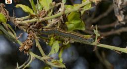 Malacosoma neustrium (Lepidoptera Lasiocampidae)