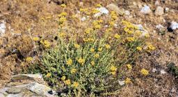 pianta di Elicriso su roccia