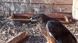 L'Aquila di Bonelli ferita al femore, dopo l'intervento, ricoverata in voliera