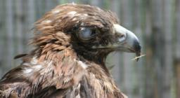 L'aquila reale ricoverata a Monastir: dettaglio dell'occhio ferito
