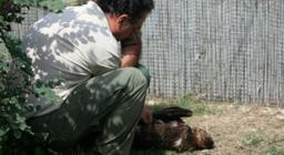 L'aquila reale ricoverata a Monastir accudita dal veterinario