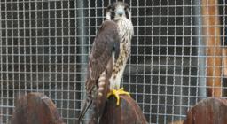 falco pellegrino ricoverato presso CARFS Monastir - foto D. Secci