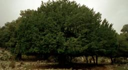 Urzulei, Taxus baccata