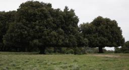 La caratteristica forma a fungo dei lecci secolari sono una icona del supramonte, frutto del pesante pascolo di bestiame nel bosco