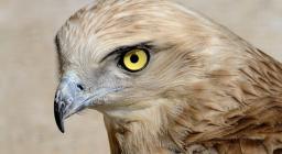 primo piano del profilo del Biancone, in evidenza gli occhi gialli - immagine dal Centro Fauna di Monastir