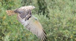 Biancone, rapace spicca il volo - immagine a cura del Servizio Territoriale EFS di Cagliari