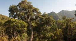 Sughera all'interno della foresta Montimannu