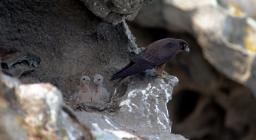 Falco della regina con pulcini