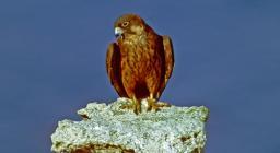 Falco della regina in un punto di osservazione