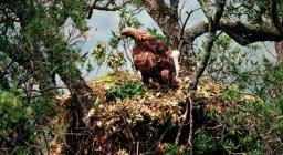 Aquila reale, nido sull'albero