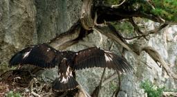 Aquila reale giovane si esercita per il volo