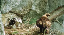 Aquila reale con pulcino