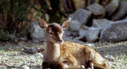 Cervo sardo cucciolo
