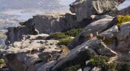 Muflone sardo nell'isola dell'Asinara