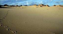 Tracce di Cervo sardo nelle dune di Piscinas
