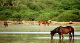 Cavallini della Giara al pascolo
