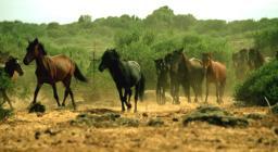 Cavallini della giara, spostamento del branco