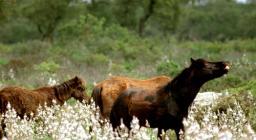 Cavallini della Giara, stallone dominante