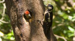 Picchio rosso maggiore, nidificazione