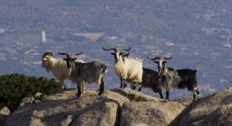 Parco dell'Asinara, capre selvatiche