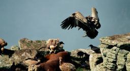 Avvoltoio grifone, pasto