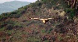 Avvoltoio grifone, volo