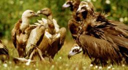 Avvoltoio monaco e grifone