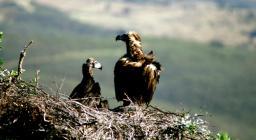 Avvoltoio monaco, nidificazione