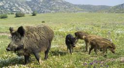 Cinghiali del Parco Nazionale dell'Asinara