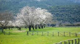 Lanusei, ciliegi in fiore