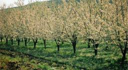 Un ciliegeto nei pressi di Bonnanaro
