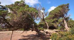 Centenari ginepri fenici a Cala Reale, Isola Asinara