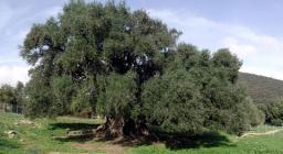 Olivastro, Luras